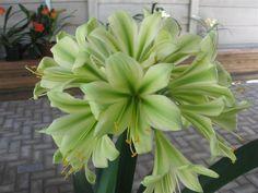 Clivia: Charl Green, Pollen Parent - Centani (Transkei) Yellow X Charl's Green Clivia Seedling Plant - Clivia USA Store