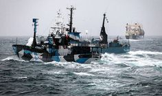 Conservationists praise ICJ ruling on Japanese whaling