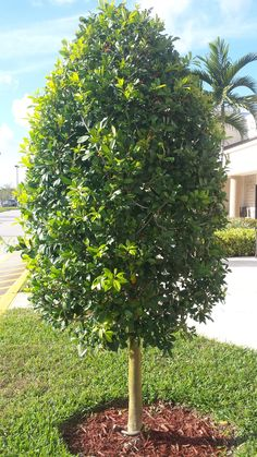 Dahoon Holly tree, ornamental trim style, www. Backyard Retaining Walls, Backyard Plants, Garden Shrubs, Garden Planters, Patio, Privacy Bushes Fast Growing, Shrubs For Privacy, Privacy Landscaping, Landscaping Ideas