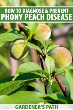 Phony peach disease is incurable and results in peach trees that stop producing fruit. Read now on Gardener's Path to find out how to prevent this disease. Peach Tree Diseases, Organic Gardening, Gardening Tips, Vegetable Gardening, Growing Fig Trees, Weed Types, Apricot Tree, Greenhouse Plants, Plant Diseases