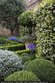 Formal garden with clipped Buxus Sempiverens, Rosmarinus officinalis, Lavandula Angustifolia and Teucrium fruiticans. Trachelospermum jasminoides flowering on the wall - Lotte Lorimer Garden.