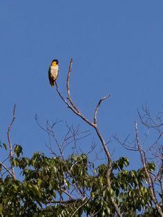 Wild black-headed Parrot (caique) in Brazil forest (Pionites melanocephalus) by Marcelo Camacho