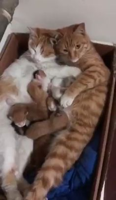 Animals Discover A family in their cardboard box home Gila - Baby Animals Cute Cats And Kittens I Love Cats Kittens Cutest Crazy Cats Cute Funny Animals Cute Baby Animals Funny Cats Beautiful Cats Animals Beautiful Cute Cats And Kittens, I Love Cats, Crazy Cats, Kittens Cutest, Ragdoll Kittens, Pet Cats, Bengal Cats, Siamese Cat, Kitty Cats