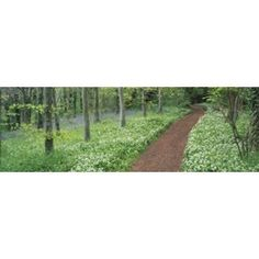 Bluebells and garlic along footpath in a forest Killerton Exe Valley Devon England Canvas Art - Panoramic Images (18 x 6)