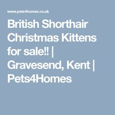 British Shorthair Christmas Kittens for sale!! | Gravesend, Kent | Pets4Homes