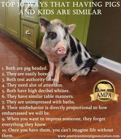Learn the Facts about mini pigs at AMPA. They forgot to mention that pigs will drive you to drink, like children.