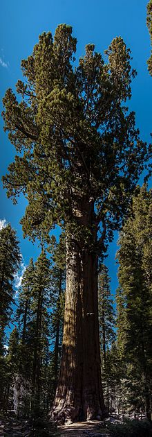 General Sherman - Wikipedia