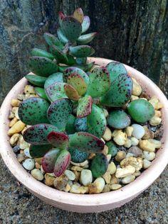 ADROMISCHUS MACULATUS | Succulents