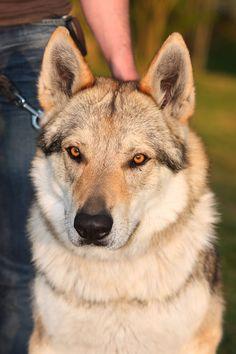 Argo – Czechoslovakian wolfdog
