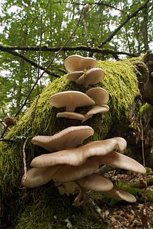 Pleurotus is a genus of gilled mushrooms which includes one of the most widely eaten mushrooms, P. ostreatus. Species of Pleurotus may be called oyster, abalone, or tree mushrooms, and are some of the most commonly cultivated edible mushrooms in the world.[1]