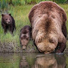 Bear mom and her cubs Photography by © Renee Doyle #Wildgeography