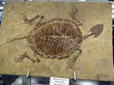 Tartaruga fossile