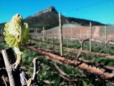 Happy Spring Day everyone! It is a picture perfect day in the winelands with bud-burst in the Delaire Graff Estate vineyards. Happy Spring Day, Bud, Vineyard, Africa, Pictures, Photos, Eyes, Resim, Clip Art