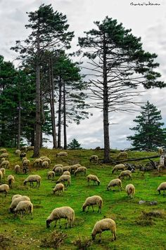 Samos Island (North Aegean) lambs