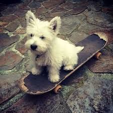 Image result for stubborn westie on lead
