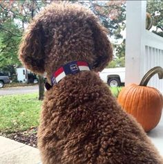 Scout looks quite dapper in Bald Head Blues' North Carolina flag needlepoint dog collar.
