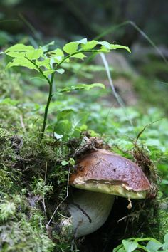 Boletus edulis, commonly known as the porcini (as well as penny bun, porcino or cep) mushroom