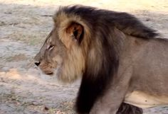 Watch footage of the regal Cecil with his pride