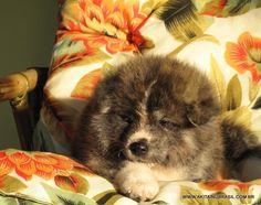 Akita Inu - Male - Brindle - 40 days old - Available. [ Hakufumy-No Fukoo Go X Jodan Mizu Go Of Fighting Dog ]  ▬ www.akitainubrasil.com.br/filhote-de-akita.html