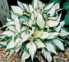 """Hosta, """"Fire & Ice"""",  10"""" tall, 15"""" wide; this is wonderful for a darker corner, but don't put it next to one with yellow (they'll clash terribly)!"""