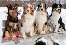Things we all like about the Exuberant Australian Shepherd Pup Australian Shepherd Red Tri, Australian Shepherd Training, Aussie Shepherd, Australian Shepherd Puppies, Aussie Puppies, Cute Puppies, Cute Dogs, Dogs And Puppies, Doggies