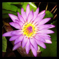 #Purple #lotus in a flowerpot pond #thailand