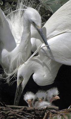 Family Pelican