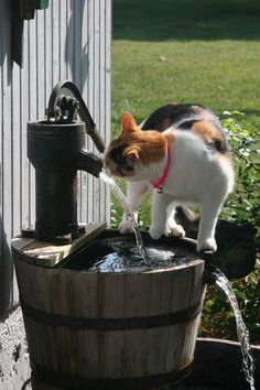 Cat helping itself to some water on the Farm
