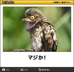 マジか! - 鳥へのボケ[67559884] - ボケて(bokete)