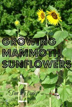Fun to Funky: Mammoth Sunflowers + My Tips!