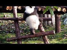 のぼれない子パンダ