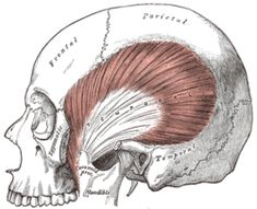 Image result for temporalis