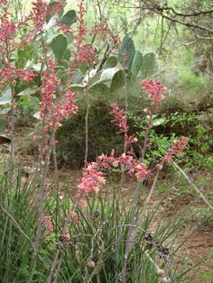 Red Yucca: front bed