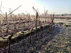 Keep warm by enjoying a bike ride through the #frosty #vineyards of the Charente Maritime! 🇲🇫 For information on our bike hire across the area contact Chris at @BikeHireDirectFrance #CharenteMaritime – visit the link in our bio to find out more :-) 🇲🇫🚴♂️ #NouvelleAquitaine #France #BikeHireDirect #DispoVelo #French #cyclinginFrance #vigne #LaRochelle #Pons #Jonzac #Saintes #Royan #marennes #Iledere #ildeoleron Aquitaine, Vineyard, How To Find Out, France, Warm, Outdoor, Vine Yard, Outdoors, Vineyard Vines