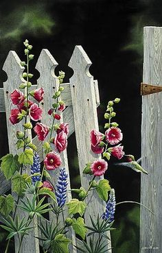 Hollyhock and white picket fence
