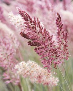 Pink Crystals Ruby Grass | Flickr - Photo Sharing!