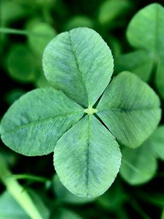 Finding a Four-Leaf Clover - Saint Patrick's Day.