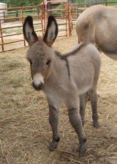 I have always had an obsession with miniature donkeys...and this baby mini donkey is absolutely adorable! brittnyhoughton