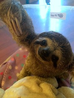 Lunita is a baby three-fingered sloth living at the Sloth Sanctuary of Costa Rica, and her face will fill your heart with pure love.