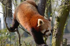 "500px / Photo ""Red panda 2"" by Vladimir Kornecky"