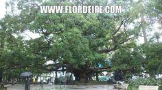 velha figueira florianopolis