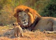 un leon con una melena hermosa