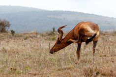 Court in the act  - Red Hartebeest scratching his neck Red Hartebeest standing and scratching his neck in the field