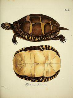 Turtle D. Johann David Schöpfs königl. Preuss. hofraths ... Naturgeschichte der Schildkröten : Erlangen :Bey Johann Jakob Palm,1792[-1801]