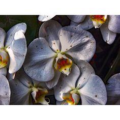 One of many yet no less beautiful  #flowermagic #floweroftheday #flowerstagram #flowerslovers #flowerporn #flower #flowers #orchid #orchids #orchidsofinstagram #orchidshare #towerhill #towerhillbotanicgarden by redhairedphotographer