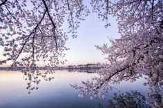 Cherry Blossoms at the Tidal Basin | Washington DC