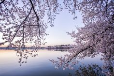 Cherry Blossoms at the Tidal Basin | Washington DC