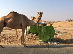 Litter can end up in the stomachs of camels, goats or gazelles, leaving them unable to digest their food, which can prove fatal.