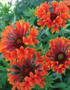 GAILLARDIA - Tizzy - K & W Greenery - Nursery Perennials 2009 Gallery