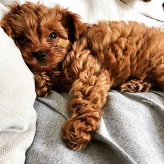 cavoodle puppy! nap time! puppy, cute puppy, cuddly puppy, sweet puppy